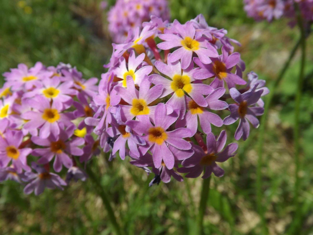 Primula spp.  #Flowers #alpineflower #wildflowerhour       #wildlifephotography    #nature #NaturePhotography #mountains #Travel   #Alpine #walking #trekking #climber #climb #phot.Süleyman Soysal