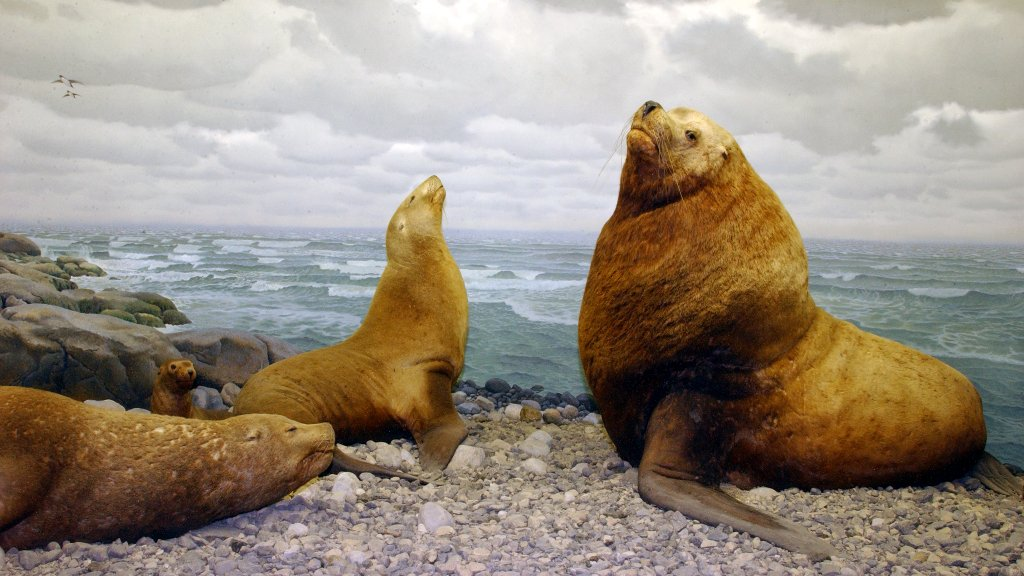 Exhibit of the Day: the Northern Sea Lion diorama in the Museum's Hall of Ocean Life! #DYK? It's the largest of all sea lions (family Otariidae). Males grow larger than females, weighing up to 2,500 pounds (1,133 kilograms) and reaching lengths of 11 feet (3.3 meters). https://t.co/TqnZmlRaN5