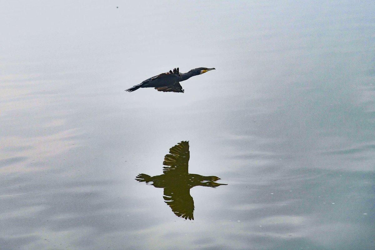 Great cormorant at taudaha lake kathmandu #greatcormorant  #cormorant  #taudaha  #birdphotography  #bird  #birdsofinstagram  #nature  #naturephotography  #lake  #kathmandu  #nepal  #asiancity