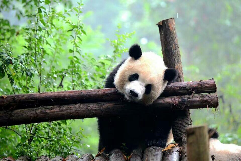 Its a Friday and its a #Panda time! Enjoy!   #China #Travel #Animals #Nature