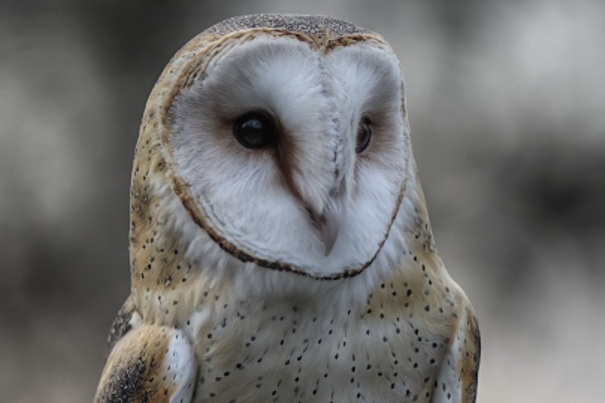 A beautiful barn owl on this #WildlifeWednesday #NaturePhotography #wildlifephotography #BirdTwitter #TwitterNatureCommunity #adventure #optoutside #explore #birdphotography #birding #nature #ilovebirds