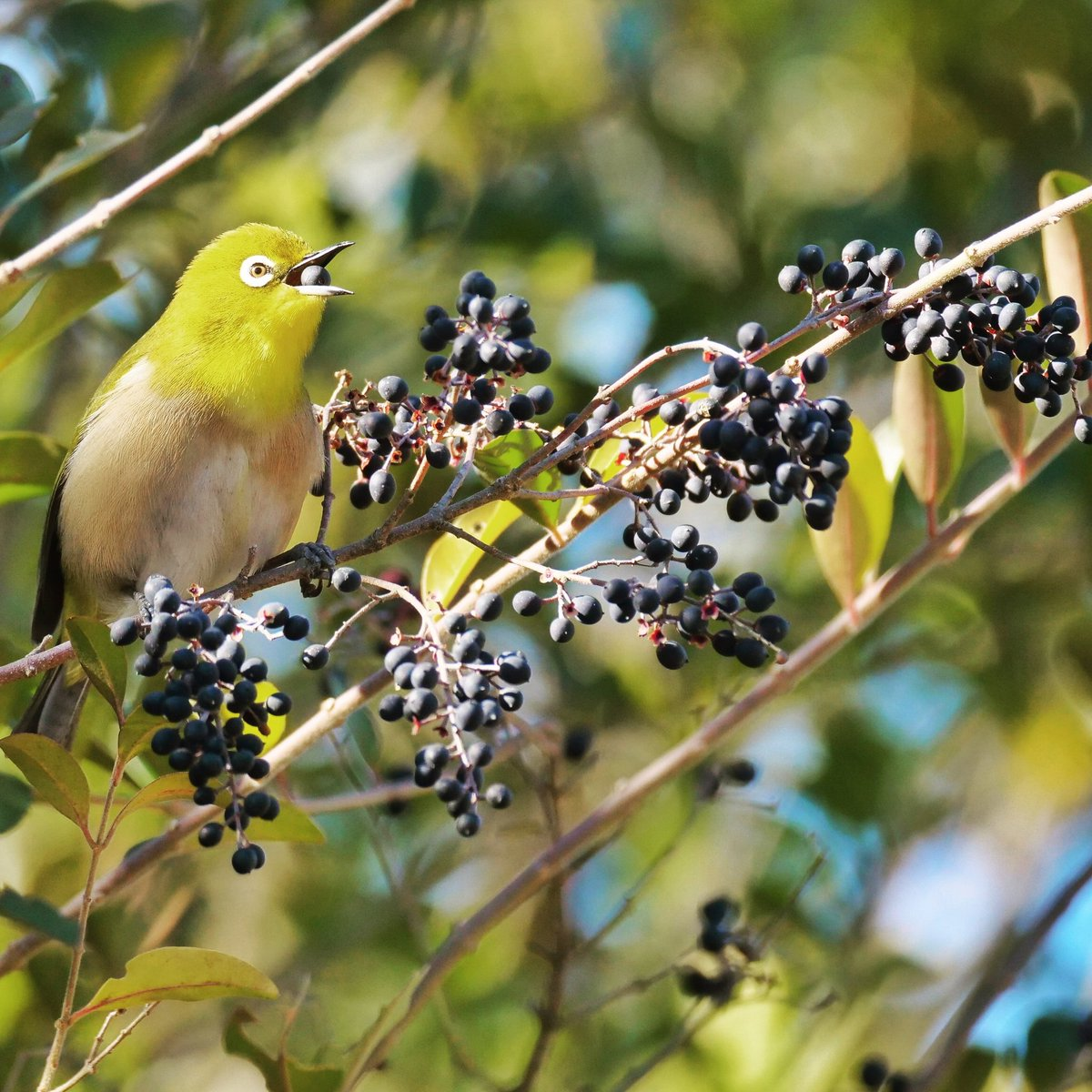久々のメジロさん祭りでした~ #メジロ #野鳥 #bird #whiteeye #nature #japan #tokyocameraclub  #東京カメラ部