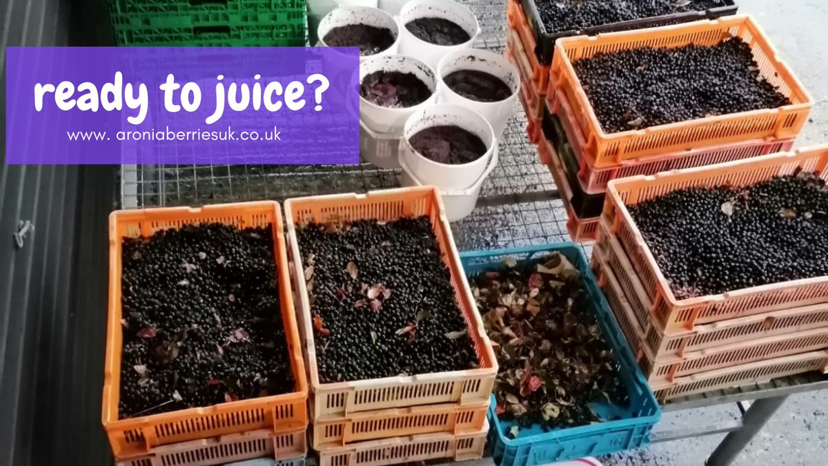 Thanks to the orders received during the last few weeks Andrew is back in the #juicing shed this week! But first we need to thaw and wash our #aronia berries harvested here in #Kent last year!  https://t.co/dl6YQZhvtK  #wellbeingwednesday https://t.co/F4icig0ZAl