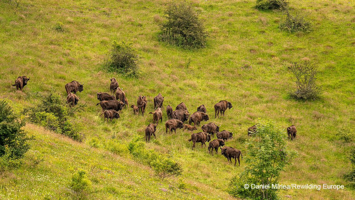 🙏#PositiveNews The wild European #bison population has grown from 1800 in 2003 to 6200+, moving them from Vulnerable to Near Threatened on the IUCN Red List. @WWF_Romania & @RewildingEurope are rewilding the bison in the Southern Carpathian Mountains.