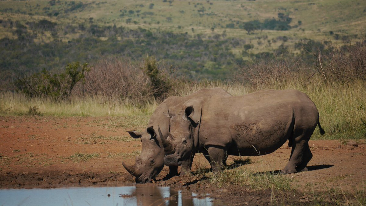 The combined threats of poaching and Covid-19 have made it harder than ever before to protect rhinos. But, thanks to your donations, rangers at Hluhluwe-iMfolozi have been able to continue to patrol.  Find out more in our latest blog:  #SaveTheRhino