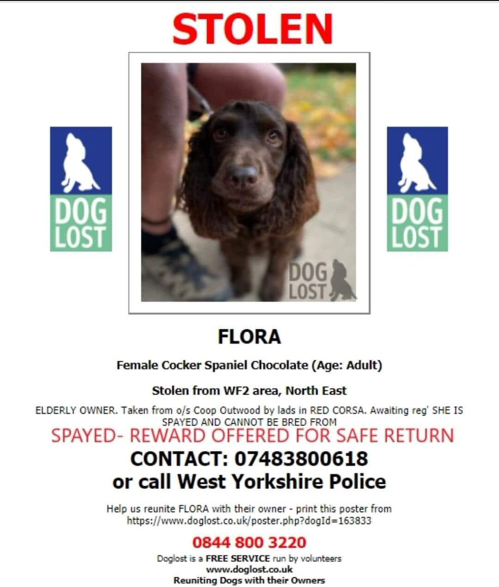 #SpanielHour  FLORA #Stolen from an elderly gentleman who is 💔  He's not slept, he's still searching, praying the ppl who took FLORA brings her home #Outwood #Wakefield  Owner will be speaking to #press chocolate #cocker CHIPPED&SPAYED  18/1/21