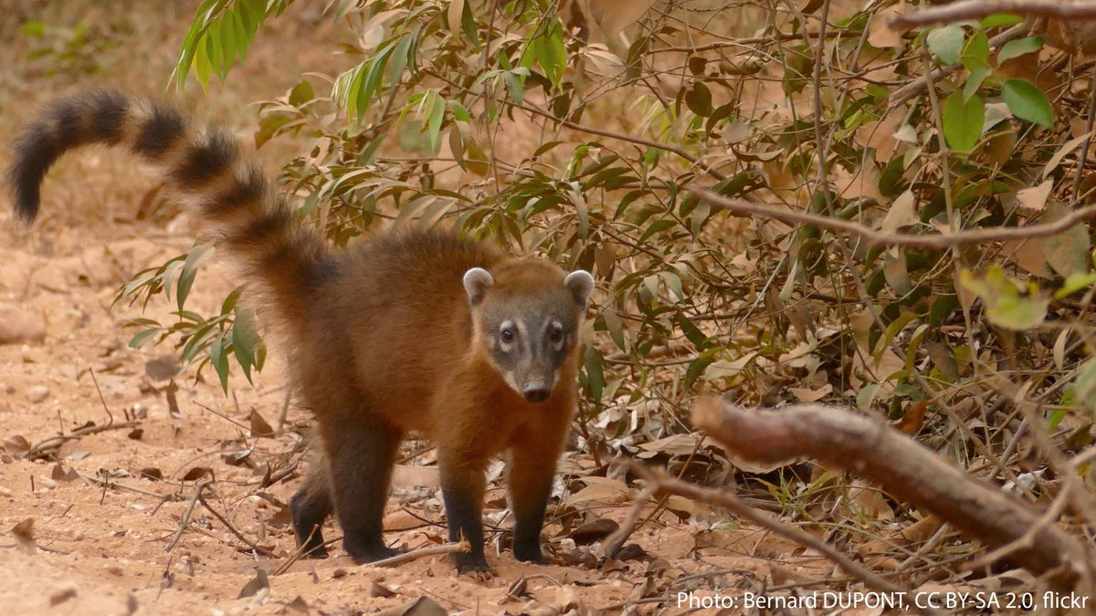What's that critter? It's the South American coati! If it reminds you of a raccoon, that's because it's a relative—both of the ring-tailed critters are members of the family Procyonidae. It has a wide range across South American forests, including parts of Venezuela & Brazil. https://t.co/PPUgxjFils