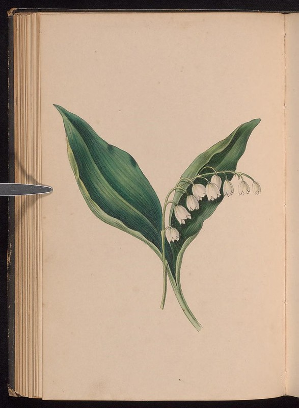 In Norwegian folktale lily of the valley was created by the spring goddess who wished to brighten up the dark days of early spring. She took pieces of her green dress to fashion stalks and leaves then dotted them with snow to create the bright white flowers. #FolkloreThursday
