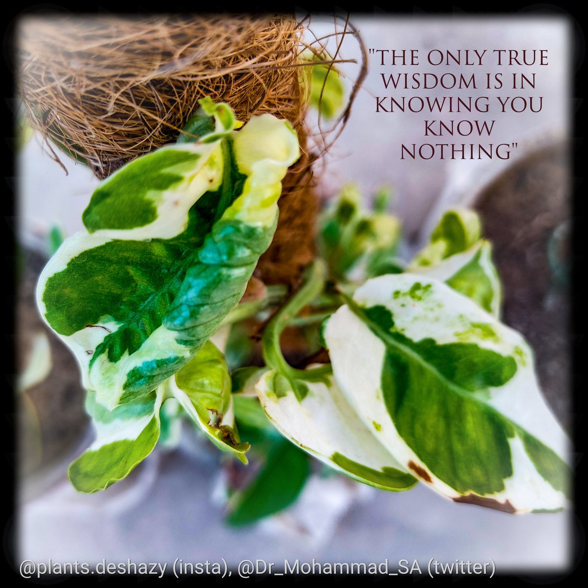"This is my N-Joy #Pothos #plant, a very slow #grower!  ""The only true #wisdom is in #knowing you know #nothing.""  #My #Organic #Urban #Rooftop #Container #Gardening #OURCG. It would be #cool if you #follow!  #agriculture #climatechange #goodmorning #NaturePhotography #quote"