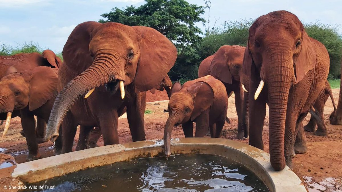 Wherever Mwuitu goes, she is flanked by her devoted nannies, Lentili and one-tusked Kihari. #DidYouKnow elephants raise their babies in family groups with female herd members taking on a considerable share of child care.