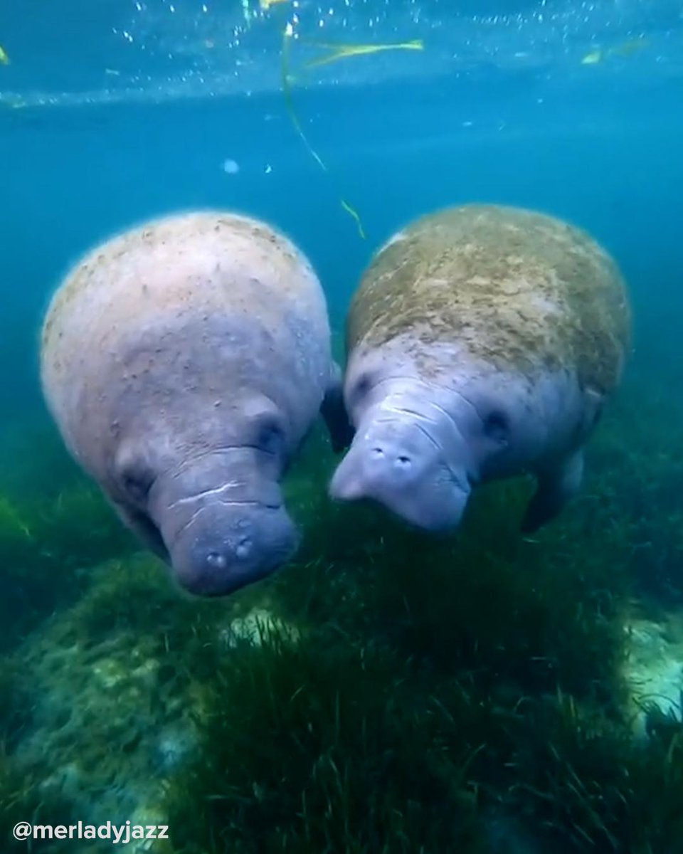 Replying to @BuzzFeed: Manatees are the cutest little guys in the whole ocean🥰