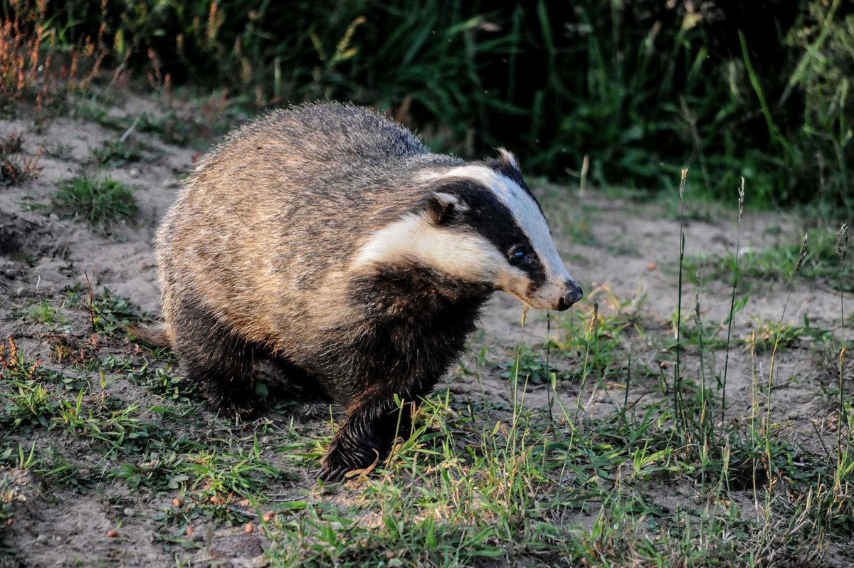 #DidYouKnow it only costs an average of £200 to cage trap, vaccinate and release a badger?  Meanwhile, trapping and killing a single badger is costing around £1100.  Read more about vaccination 👉     #ProjectVaccinate #CanTheCull   📷 Dod Morrison