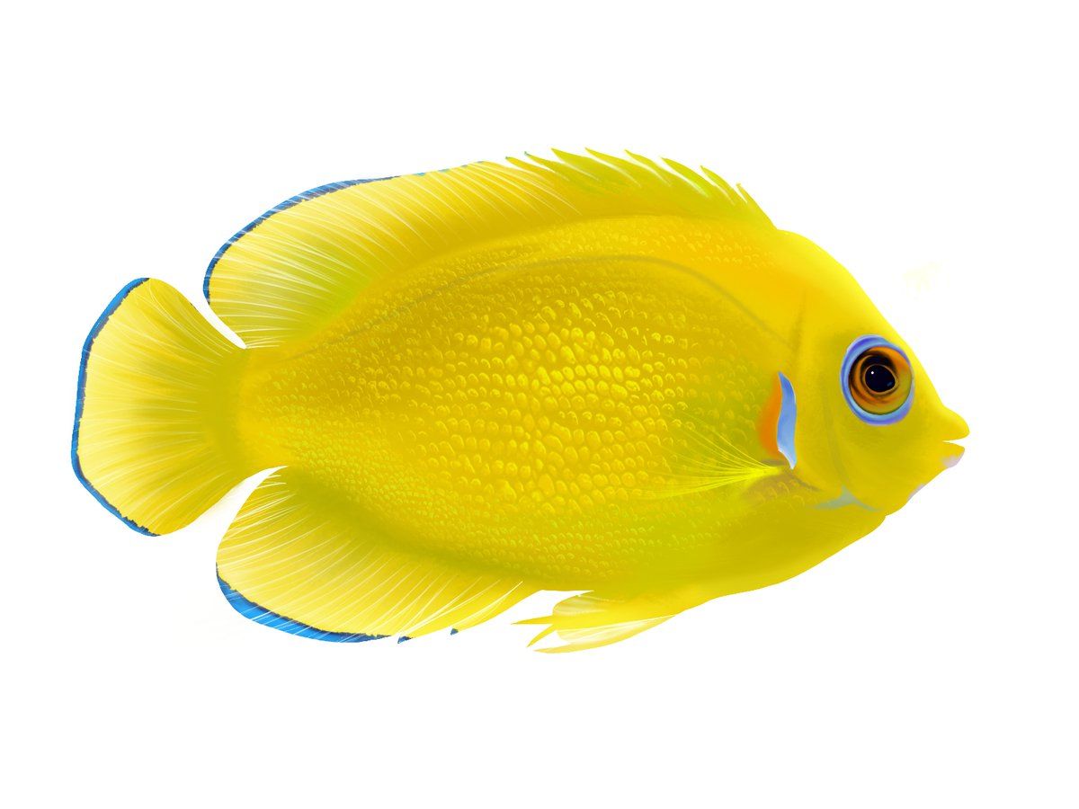 When life gives you #lemons, teach yourself digital art and them into #fish. Here's my attempt at the Lemonpeel angelfish (Centropyge flavissima). #SciArt