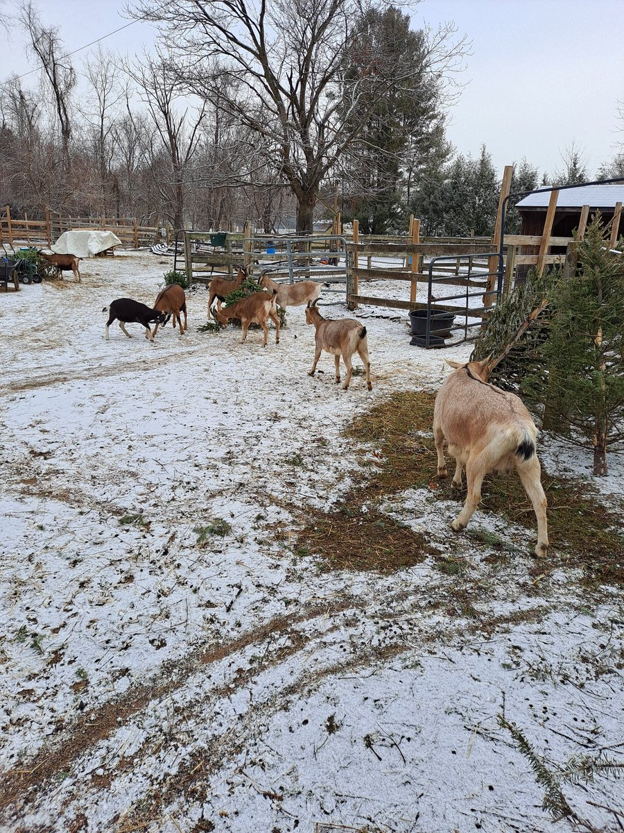 It looks like #christmas but it's not. My family and I love to eat trees. This year 20 we've had 20 trees donated to us as snacks. We also got a little bit of snow. Stay tuned for more updates  #Igorthegoat #goatsoftwitter