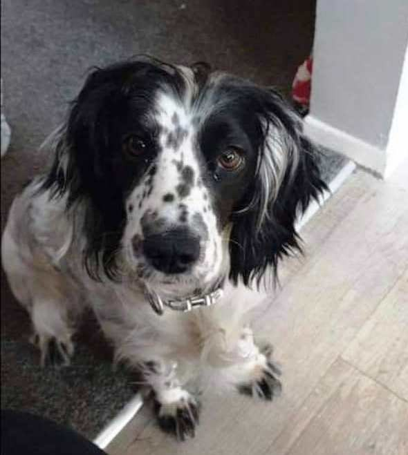 RUBY stolen from the back garden #Desborough, #Northamptonshire on 17.01.21   Thieves cut through a padlock  call @NorthantsPolice on 101, quoting CRN 21000041261 or Crimestopper on 0800 111 222  Richard on 07737 386061  DogLost:   #PetTheftReform #FernsLaw
