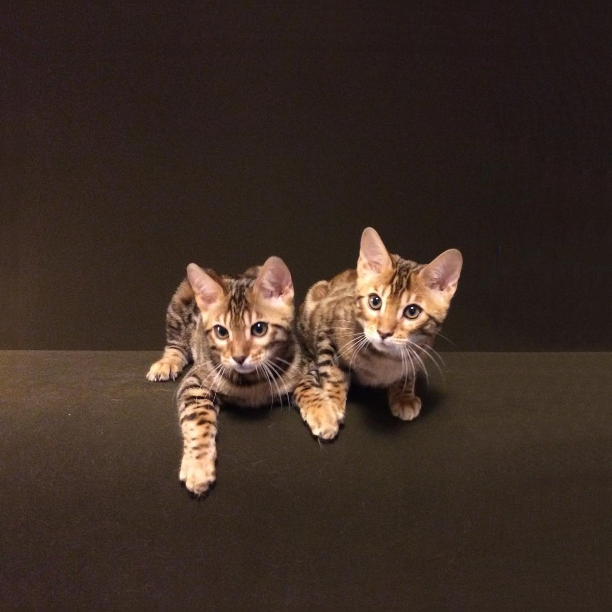 Two Bengal Brothers #paintedcatswi #cats #kittens #bengalcatworld #bengalworld #petsofinstagram #bengal #kittylove #catloversclub #catworld #catlife #cutecatcrew #kittenlove #cutekitty #bengals #bengalkitten #bengalcat #meowsandwoofs #catsofinstagram #weeklyfluff #cat_features