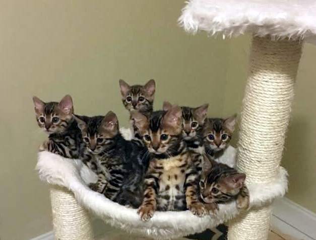 Bunch o Bengals  #paintedcatswi #cats #kittens #bengalcatworld #bengalworld #petsofinstagram #bengal #kittylove #catloversclub #catworld #catlife #cutecatcrew #kittenlove #cutekitty #bengals #bengalkitten #bengalcat #catsofinstagram #weeklyfluff #cat_features #catsofworld