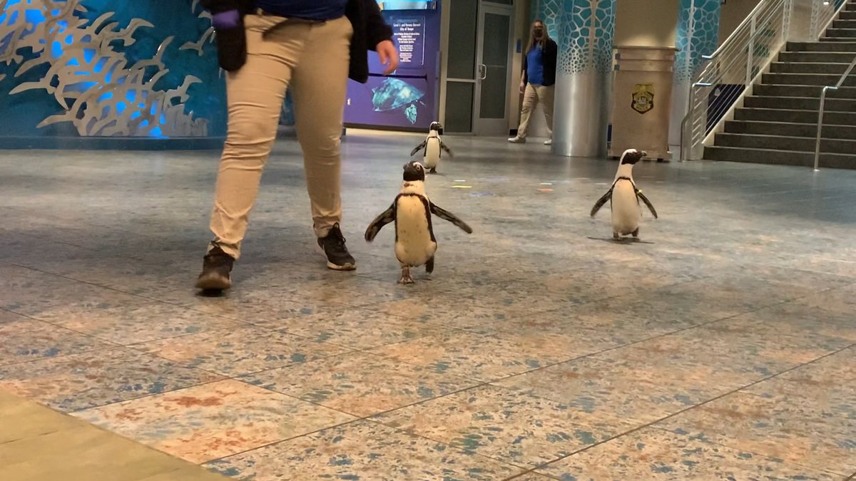 Penguin Awareness Day: Florida Aquarium resumes 'backstage pass' for families   @WFLADaisy reports