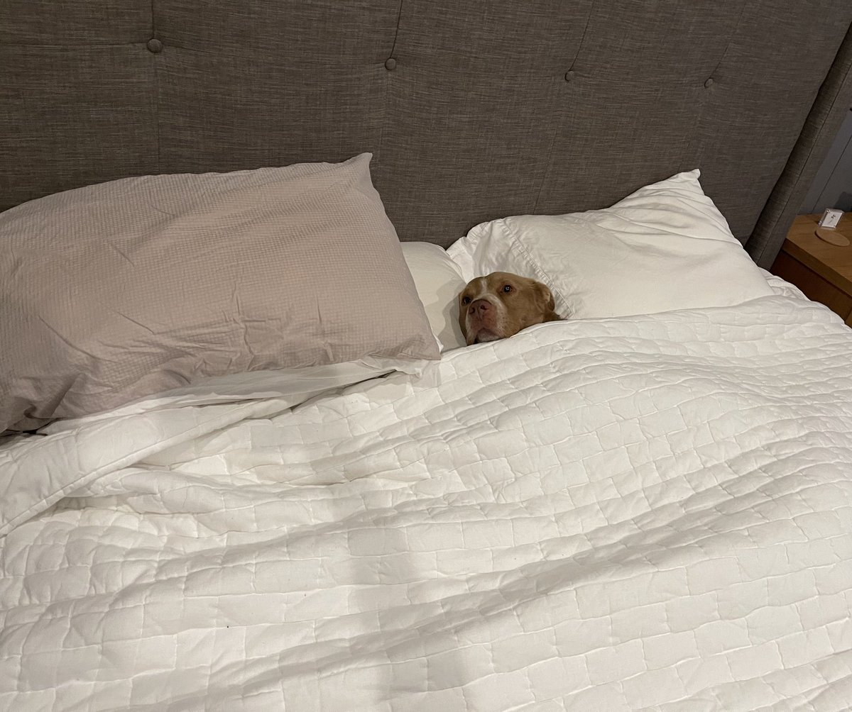 Listen, I don't want to dwell on it, but this has been #DogCheaney since the Turdue game.  He's having a very difficult time finding the will to even get out of bed. #iubb