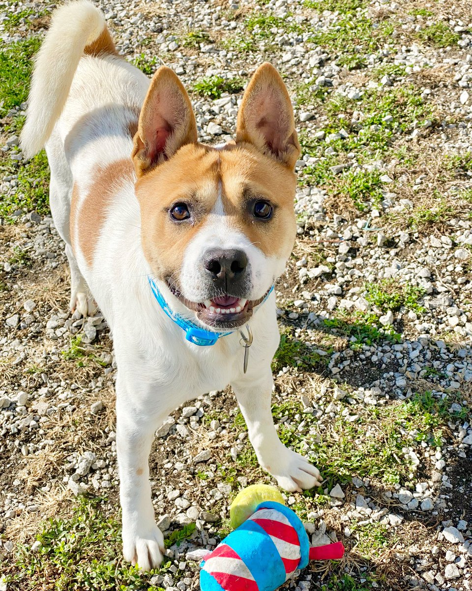 Major is looking for that perfect blend of playmate & soulmate. He knows you're out there and is patiently waiting with a big smile on his face ❤️🐶 #AdoptDontShop https://t.co/FAO5568MCq