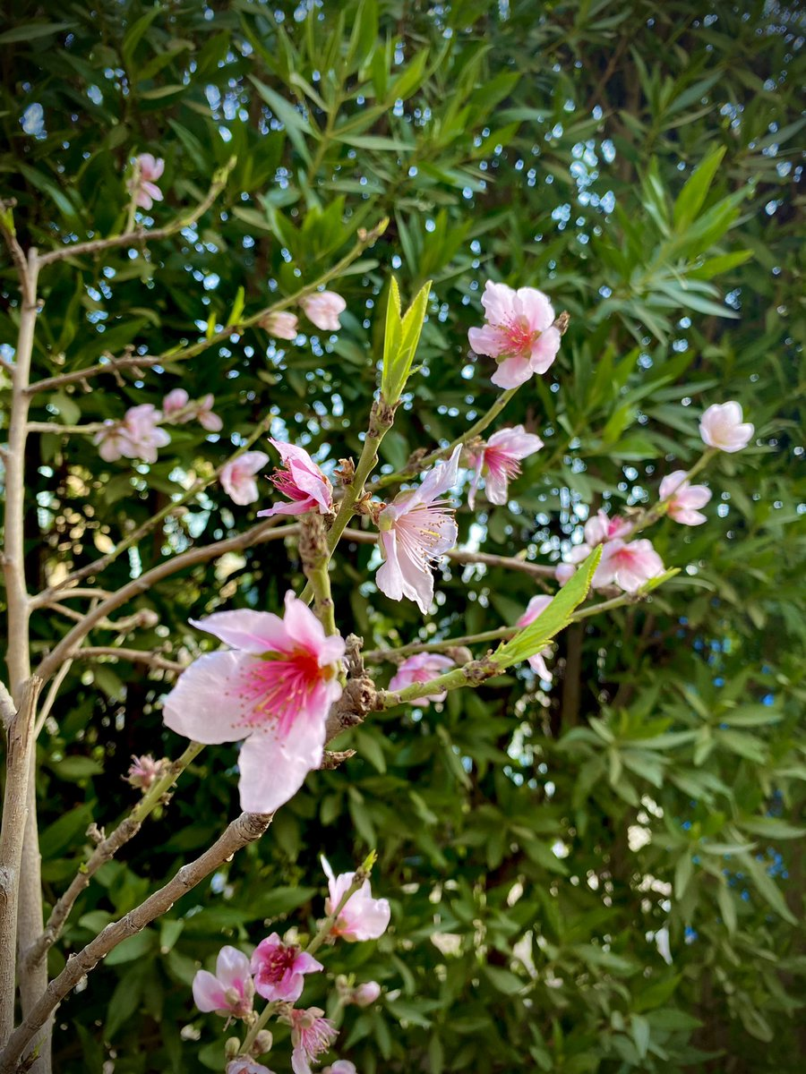 Found this beautiful shrub in the front yard of our office..This is a peach tree/خوخ..its scientific name is Prunus Persica 🌸🌿✨  #plants #plantsofinstagram #foundinegypt