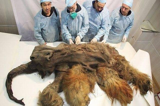 39,000 year old Mammoth Carcass. Scientists say its so well preserved that its brain is still intact