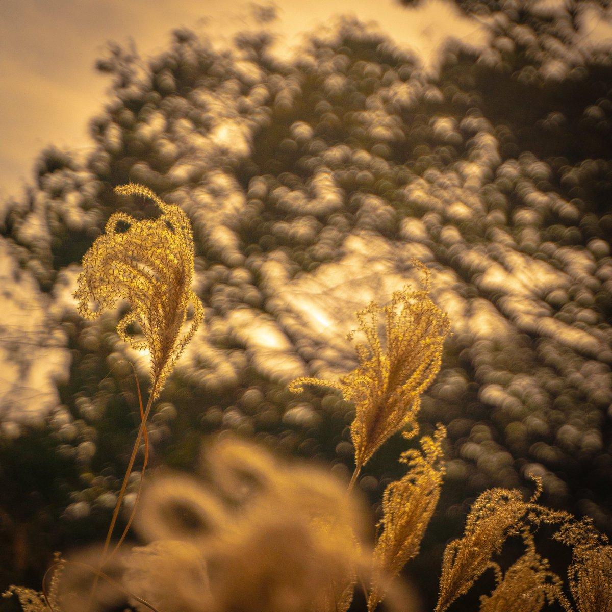冬のすすきの柔らかさは暖かい #ススキ #写真 #photooftheday #キリトリセカイ #写真撮ってる人と繋がりたい