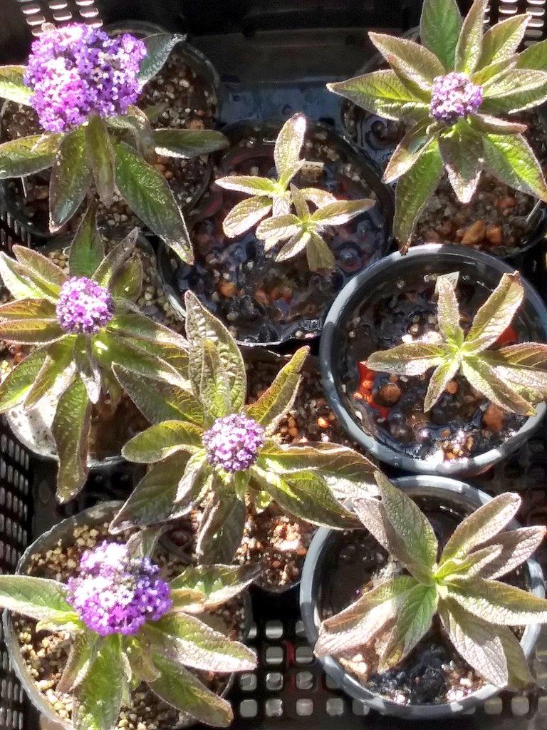 #TLを花でいっぱいにしよう  #PlantsMakePeopleHappy   もりもり咲きだしたヽ(*´^`)ノ デス  ヘリオトロープ 💠 #自宅の花