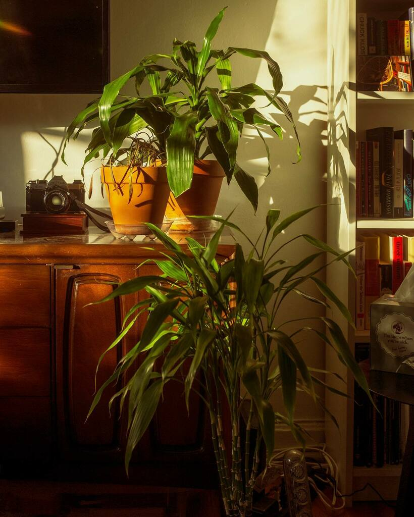 4:33pm light ☀️  #plantsofinstagram #plantsplantsplants #plantparenthood #X100T #fujifilm_xseries
