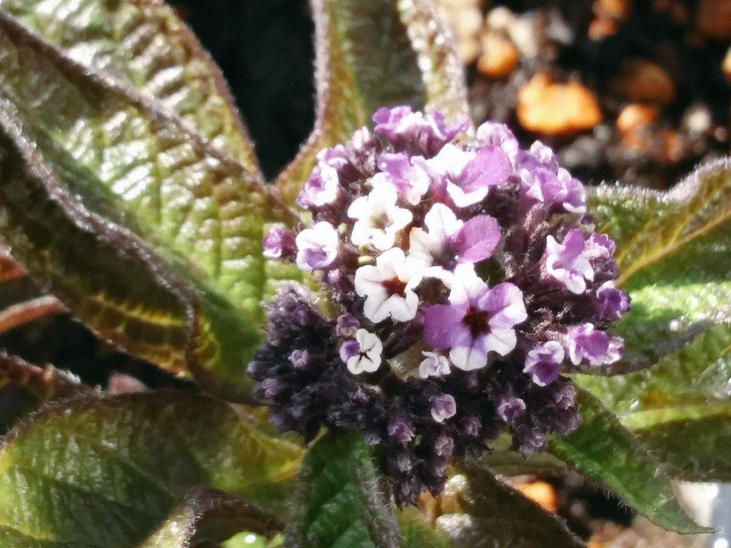 #TLを花でいっぱいにしよう  #PlantsMakePeopleHappy   Σp[【◎】]ω・´) ズーミング 💠デス   💠 #自宅の花