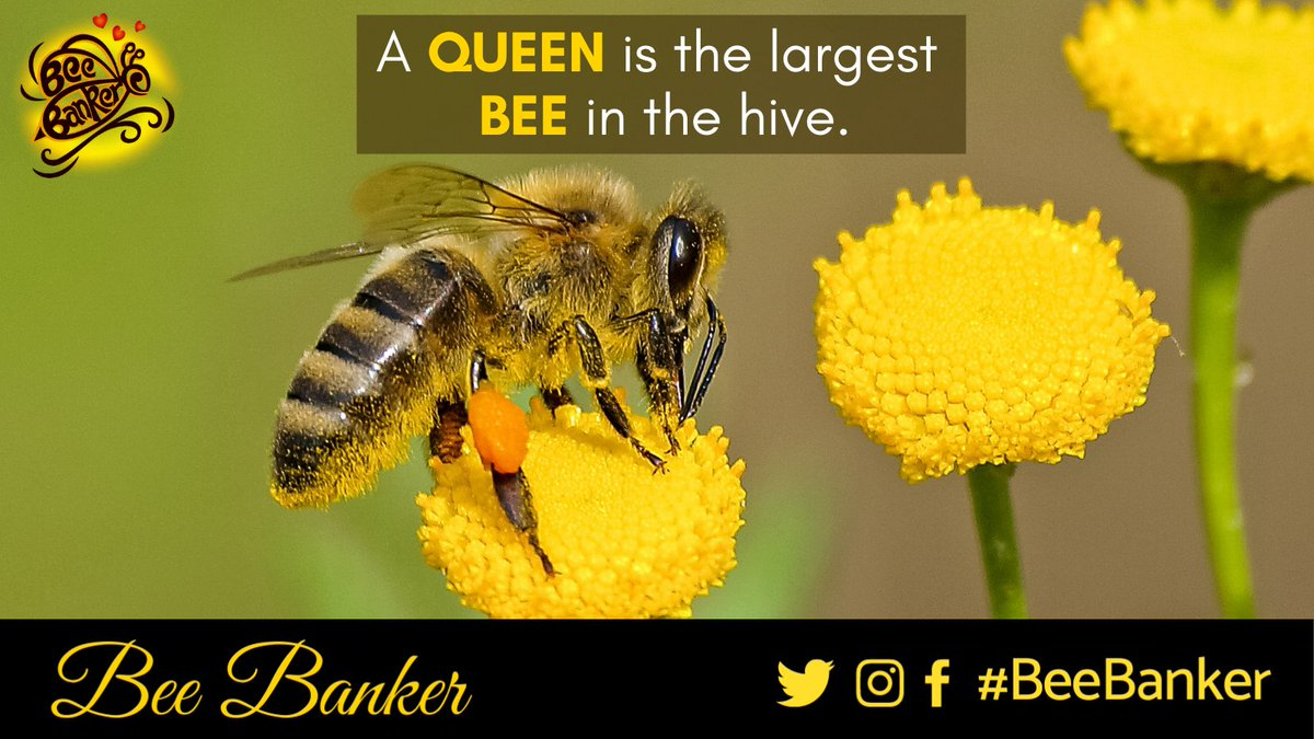 A queen is the largest BEE in the Hive. She can lay up to 2000 eggs per day, twice her own body weight per day.  #Honey #BeeBanker #BeeHappy #BeeHealthy #BeeSafe #BeeStrong #HoneyBee #BeeFit #VocalForLocal #QueenHoneyBee #LargestBee