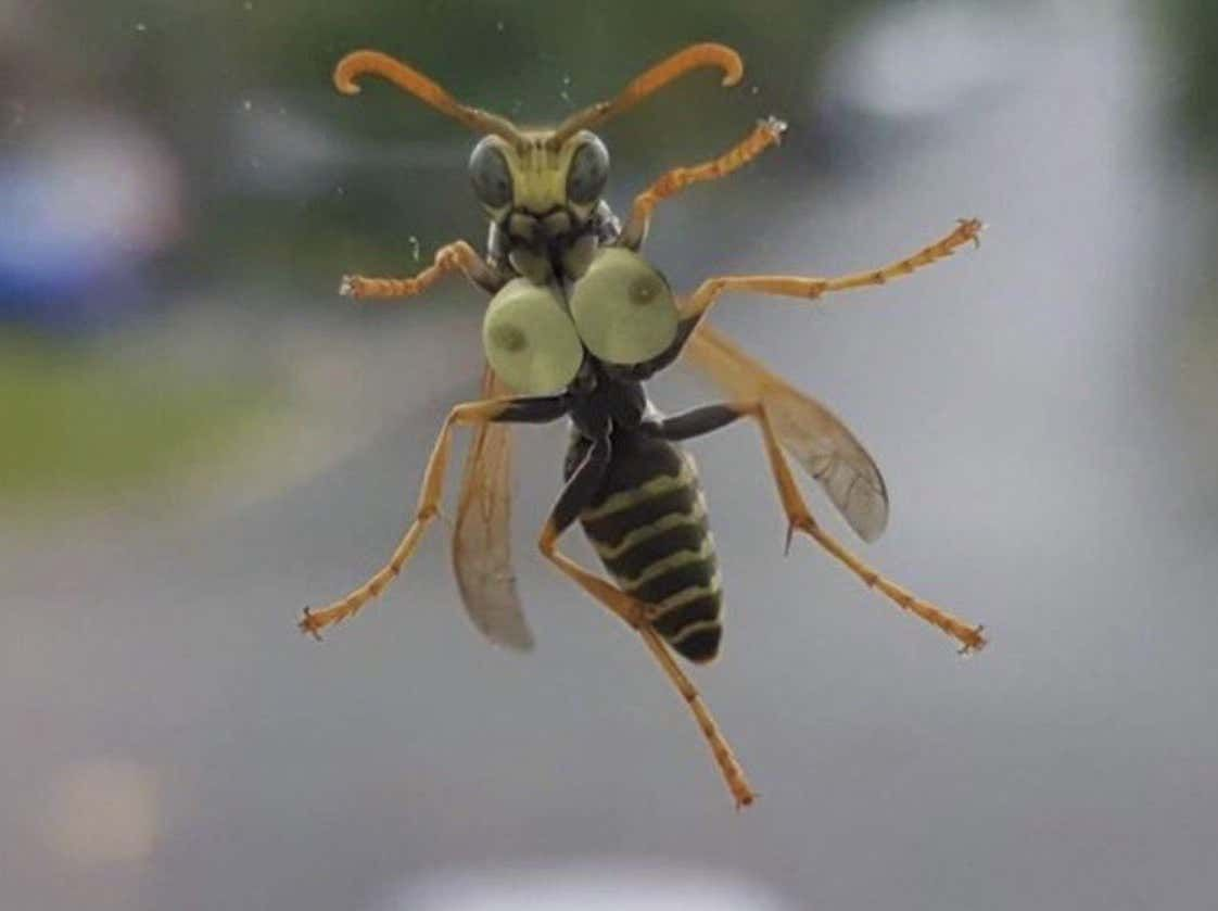 Horny Hornet With The Best Set of Honey Milkers You'll See All Day
