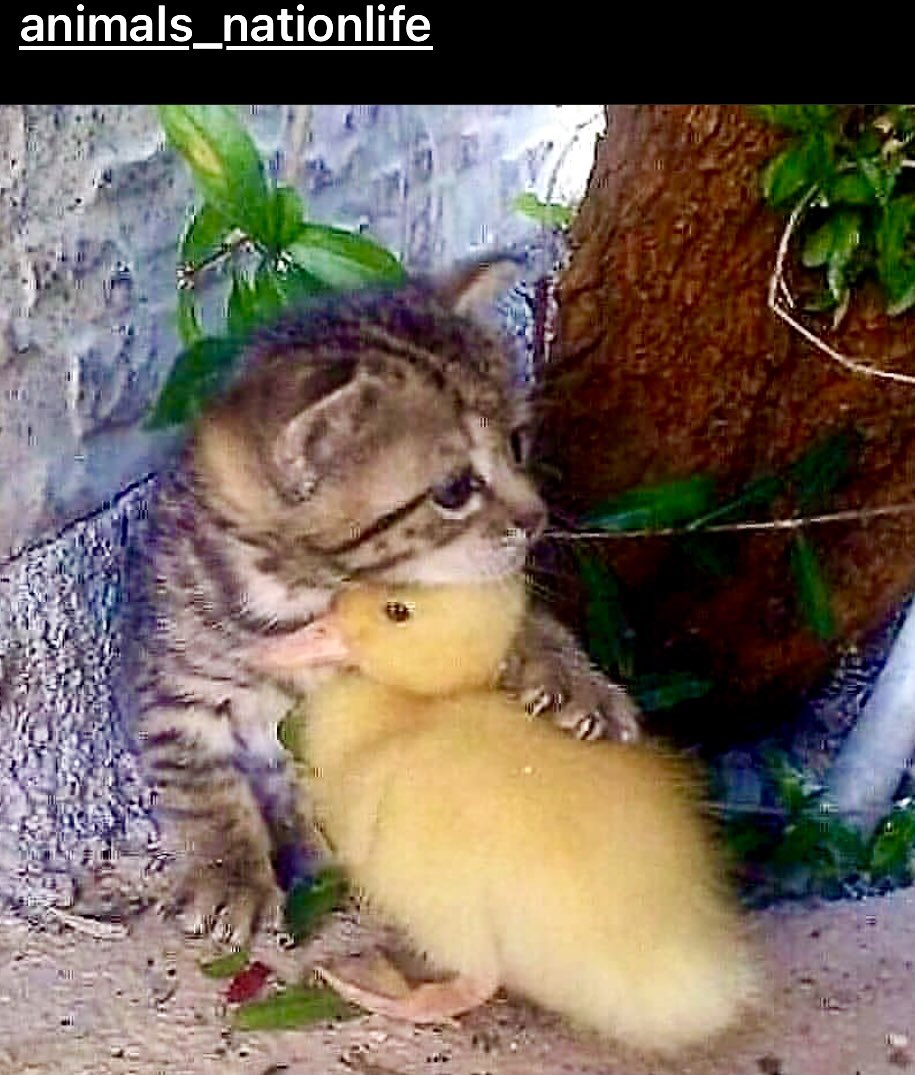In a world that seems so bleak & dark, we all could use a hug once in a while. #hug #hugs #kitten #kittens #duck #ducks #ducklings #kittenlove #love #lovekittens #lovewins #care #hope #affection #precious #empathy #preciousmoments #together #heal #peace #peaceful #peaceandlove