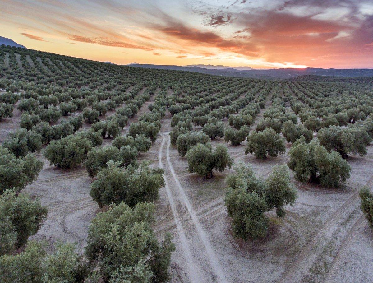 #ViveAndalucia | Andalucía, viaje por un infinito océano de olivos  vía @ElViajero_Pais