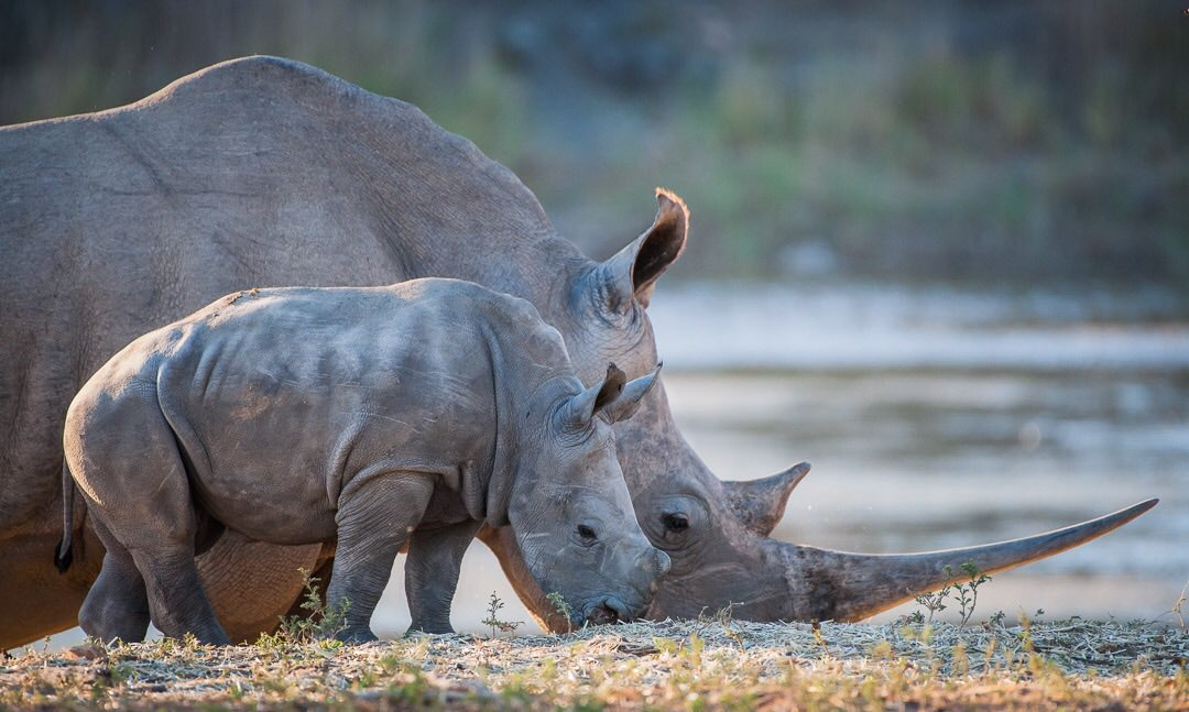Sorry for duplication - adding thread.  This next photo is also from South Africa. White Rhino with three month old calf. #rhino #safari #wildlifephotography