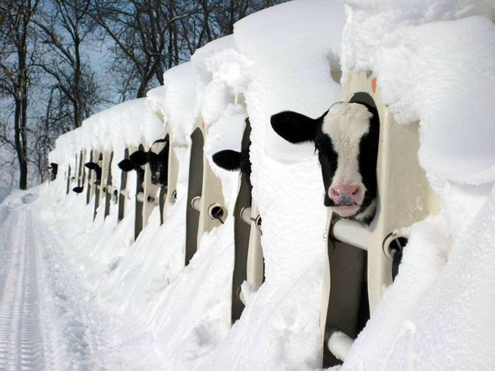 How is your isolation going? Are you also cold and alone like these calves? https://t.co/ihpC1VayBi