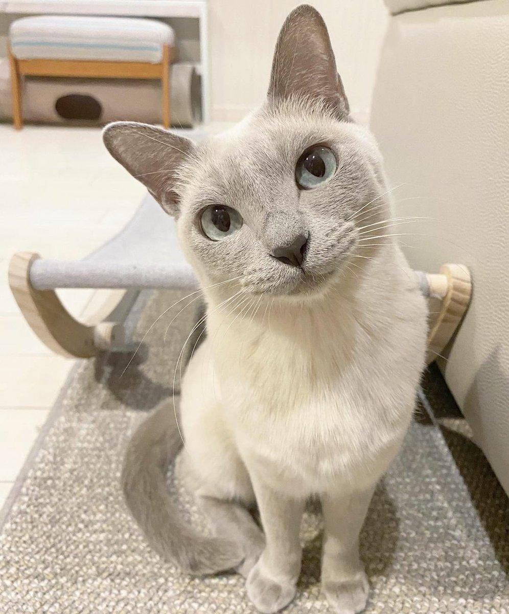 Aww cutie #cat 😘😍😽💕 credit:mint.marine.kanon  #CatsOfTwitter #catlovers #catsofinstagram #catlife #catlover  #pet #cat #cats #ilovemycat #meow #pets #animal #catsagram #catstagram #ねこ #猫  #고양이 #котик #gato #bestmeow #ThingsImGonnaMissAboutTrump #CelebratingAmerica
