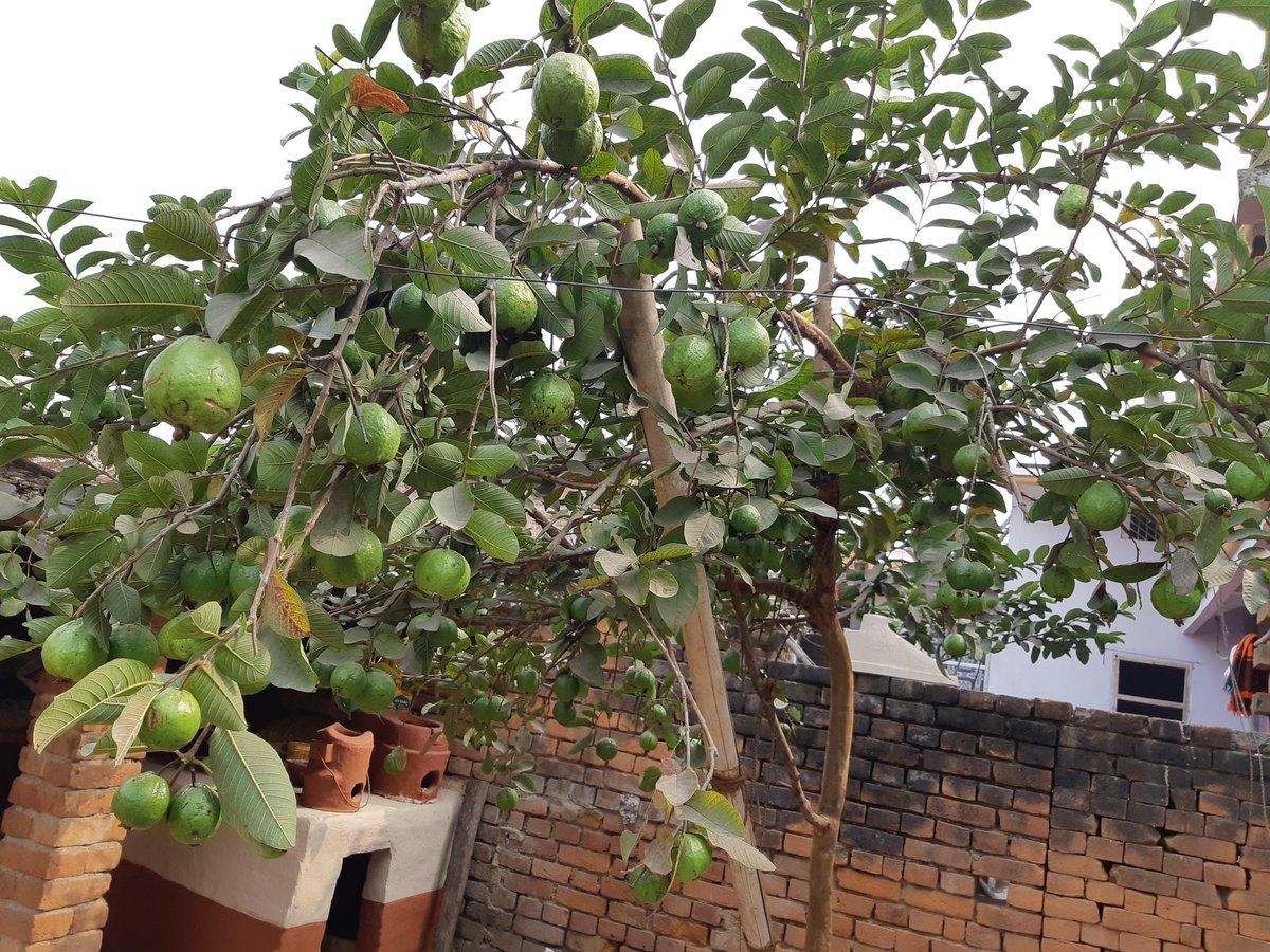 A tree with full of Guava in my sister's house 😊😊❤️❤️  मन को ललचा देने वाली तस्वीर ❤️❤️ शानदार #अमरूद 😊😊  #फलदार #शानदार #हरित  #guvava🍏 #guavafruit #guava #greenindiachallenge #green #villagephotography #villagehouse  @blossomcandyy @PriyankaJShukla @_Sweet_Parul_