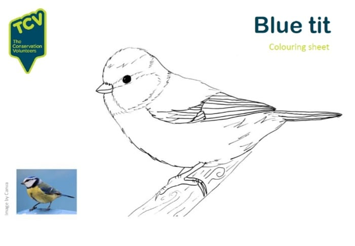 Time to get arty with another of our printable colouring sheets 🖌🎨 This week its the beautiful blue tit! Email hannah.jones@tcv.org.uk for PDF version. #BigGardenBirdWatch #homeschooling2021 @TCVtweets