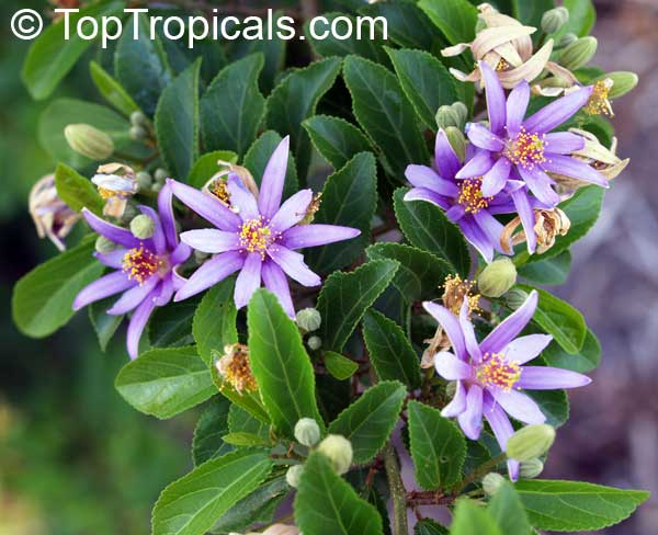 #Grewia occidentalis -Lavender Star Flower. This shrub or a small tree has a unique feature - branches can be growing flat, creating a perfect screen. Great specimen plant for containers or small yards. Good for bonsai.    #floweringshrubs #ThursdayThoughts