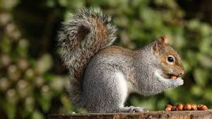 #SquirrelAppreciationDay Do you love squirrels?  I can get you a custom painting of this natural beauties. #animals #animal #pet #TagsForLikes #TagsForLikesApp #dog #cat #dogs #cats #photooftheday #cute #pets #instagood #animales #cute #love #nature #animallovers #squirrels