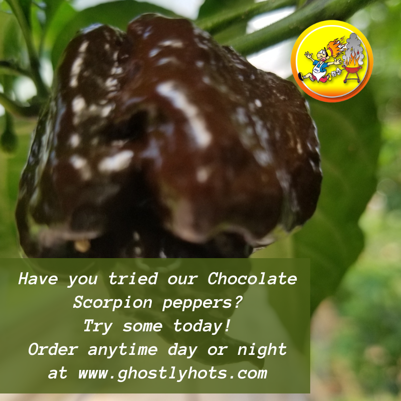 Our Chocolate Scorpion peppers are the best! Try some today! Order anytime day or night at   🌶️  #hotsauce #spicy #food #hot #sauce #peppers #pepper #chicken #ghostlyhots #hotpeppers #salsa #chillisauce #chilli #instafood #chili #ghostpepper #wings