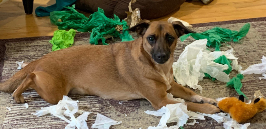 """A3 Media Staff Pets: Meet """"Pip"""". A super cute, 5-year-old, Dachshund and Fox Terrier, rescue. She enjoys getting presents and unwrapping them. Clearly the wrapping paper is more fun than the toy itself! #RescueDogs #DogOfTwitter #StaffPets"""