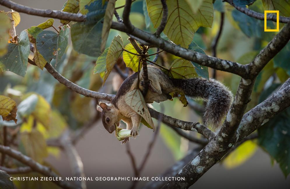 A squirrel eats an Ochroma flower in Panama in this image from the archives. #SquirrelAppreciationDay