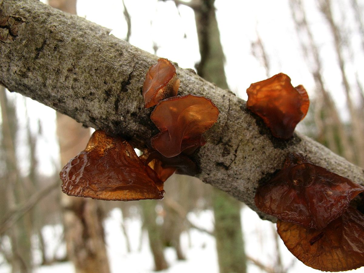 "Exidia recisa - The ""Willow #brain or #amber #JELLY Roll"" #mushroom is a type of jelly #fungi that can be found on dying #Willow branches  The jelly #mushrooms earn their namesake by appearing like the #dessert   #thursdaymorning #ScienceIsBack #scienceneverleftthisaccount"