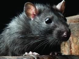 Rat Infestations are on the rise  Lockdown has seen an increase due to a higher amount of rubbish.  Contact our professional team today freephone:  08000 35 1000  #thebustersgroup #pestcontrol #ratcontrol #ThursdayThoughts ##Birmingham #westmidlands #pests #infestation