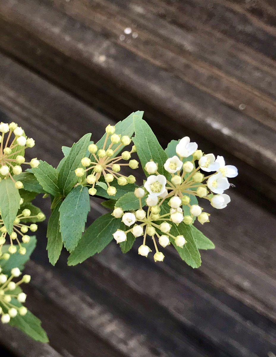 こでまりの苗を植えました。ハーブではないけれど大好きな花。小さな白い手毬状の花と柔らかな枝垂れ姿が魅力です。春になったら綺麗な花が沢山見られます様に #植物の力 #植物療法 #ハーブ #アロマ #草木染め #屋上庭園 #ハーブガーデン #ハーブのある暮らし #レンカ #ハーブスタジオイリーダ #杉並区 https://t.co/Pn4SyZsTwK