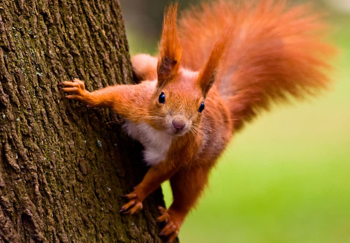 The 21st of January is #SquirrelAppreciationDay!  The Hiraethog area that includes Llyn Brenig is recognised as the stronghold for red squirrels in Wales. They are hard to spot as the majority of their time is spent high up in the treetops feeding on the seeds of conifer cones.