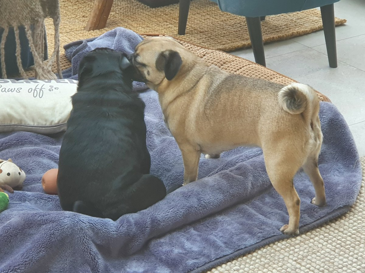 Some serious decision making going on between these two! #dogsoftwitter #dogs #puglife #fawnpug #blackpug #pugs #pugsoftwitter #lockdown #content #happy #ThursdayMotivation