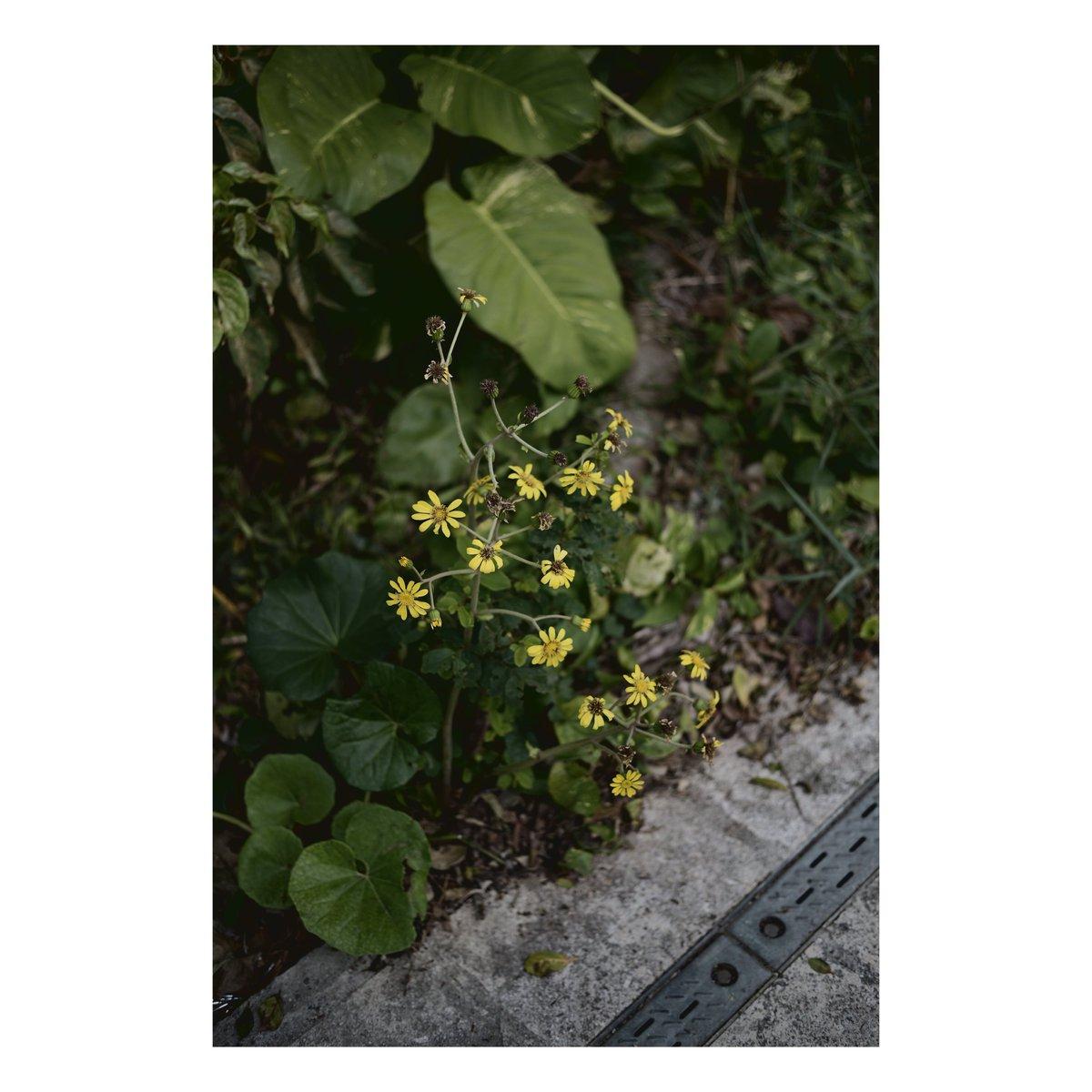ニコンでクラシッククローム風撮って出し。 #写真 #ファインダー越しの私の世界  #写真シェア #写真好きと繋がりたい #Nikon #Z6 #マクロプラナー #Makroplanar #Milvus #お写ん歩 #沖縄 #vsco